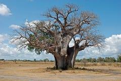 Baobabbaum in der trockenen afrikanischen Savanne - Tanzania Stockfotos