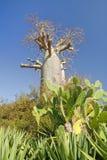 Baobabbaum und -kaktus Stockfoto