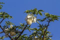Baobabbaumblume in Nationalpark Kruger, Südafrika Lizenzfreie Stockfotografie