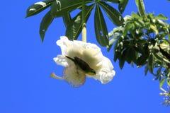 Baobabbloem Royalty-vrije Stock Foto's