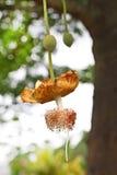 Baobabblomma Arkivbild