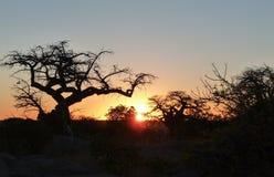 Baobabboom bij Kubu-Eiland royalty-vrije stock foto's