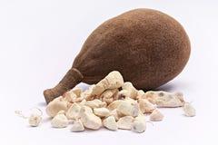Baobabfrucht Adansonia digitata auf weißem Hintergrund Stockbild