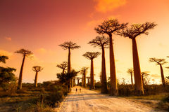 Baobabgrändsolnedgång Royaltyfri Bild
