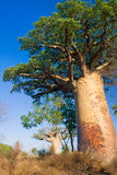 baobabmadagascar trees Royaltyfri Foto