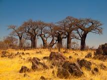 Baobabparadis nära Savuti Arkivbilder