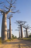 Baobabs Royalty Free Stock Images
