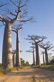 Baobabs Imagens de Stock Royalty Free