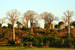 Baobabs Stock Photography