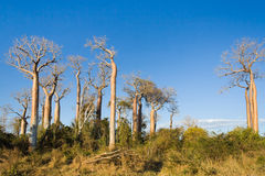 Baobabs Royalty Free Stock Photography