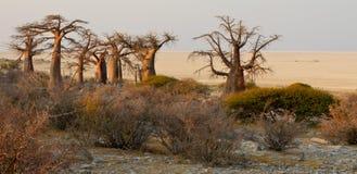 Baobabs Lizenzfreie Stockbilder