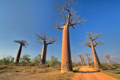 Baobabs. In Baobab Avenue near Morondava in Madagascar Stock Images