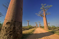 Baobabs. In Baobab Avenue near Morondava in Madagascar Royalty Free Stock Photography