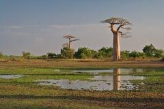 Baobabs Foto de archivo libre de regalías