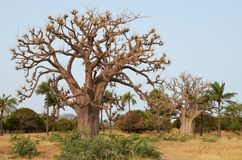 Baobabs africanos en la sabana africana del norte Senegal, región del delta del río de Saloum imagenes de archivo