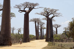 Baobabs alley Stock Image