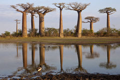 Baobabs alley Stock Photos