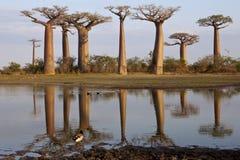 Baobabs alley stock photos