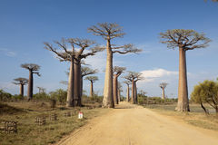 Baobabs alley Stock Images