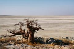 Baobabs auf Kubu-Insel im Winter lizenzfreies stockbild