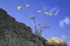 Baobabs avec la fleur Images stock