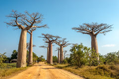Baobabs avenue. MORONDAVA,MADAGASCAR - AUGUST 01,2015 - Baobab avenue.The Avenue of the Baobabs is a prominent group of baobab trees lining the dirt road between Stock Photos