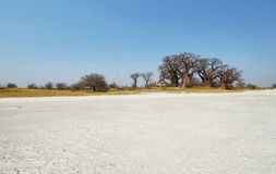 Baobabs on Baines Baobab in winter Stock Photography