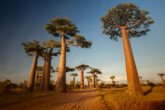 Baobabs Royalty Free Stock Image