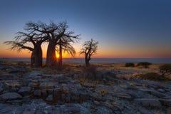 Baobabs bij Kubu-Eiland stock fotografie