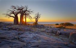 Baobabs bij zonsopgang stock foto's