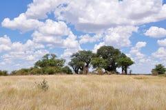 Baobabs, Botswana photos libres de droits