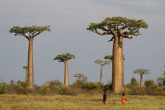 Baobabs in the bush Royalty Free Stock Photos