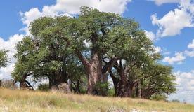 Baobabs célèbres de Baines photo libre de droits