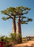 Baobabs cerca de Morondava en Madagascar Foto de archivo