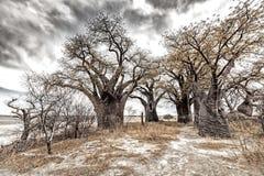 Baobabs de Baines Fotos de Stock Royalty Free