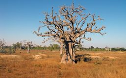 Baobabs in der Savanne. Stockfotos