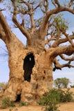 Baobabs in der Savanne. Stockfotos
