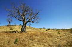 Baobabs in the dry season. Tanzania Royalty Free Stock Photos