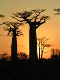 Baobabs du Madagascar Photo libre de droits
