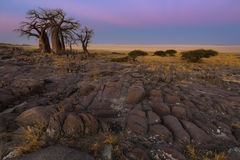 Baobabs in the early morning light Stock Image