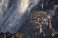 Baobabs en la cascada de Ruacana, Namibia Foto de archivo libre de regalías