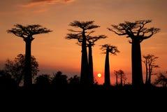 Baobabs en la puesta del sol imagenes de archivo