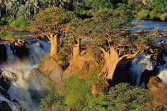 Baobabs at Epupa waterfall, Namibia Stock Images
