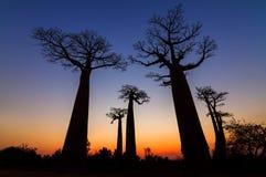 Baobabs grandes después de la puesta del sol Fotos de archivo libres de regalías