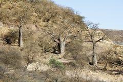 Baobabs in Jebel Samhan Royalty Free Stock Image