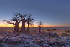 Baobabs at Kubu Island before sunrise Royalty Free Stock Photo
