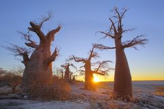 Baobabs on Kubu Island at sunset Stock Photo