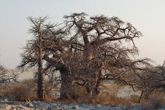 Baobabs Royalty Free Stock Photos