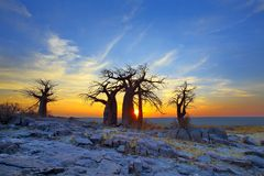 Baobabs on Kubu at Sunrise Stock Photos