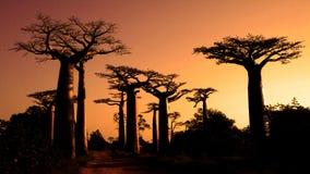 Baobabs. Madagascar Foto de Stock